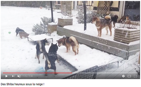 elevage-shiba-inu-snow-neige-CKK-chiot-meute-video