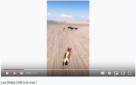 Video-elevage-shiba-inu-CKK-Chuken-Kiku-Kensha-plage-mer-playa-beach-meute-pack-sesame-goma-black-tan-noir-feu-nippo-youtube-chien-japonais-shibamania-shibaken-japan-dog-shibalife