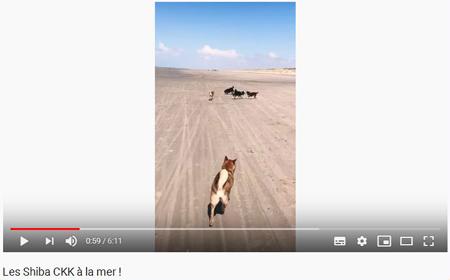 Video-elevage-shiba-inu-CKK-Chuken-Kiku-Kensha-plage-mer-playa-beach-meute-pack-sesame-goma-black-tan-noir-feu-nippo-youtube-chien-japonais-shibamania-shibaken-japan-dog-shibalife