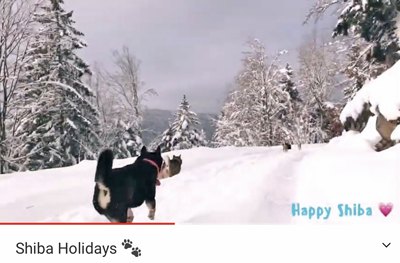 Youtube-shiba-chuken-kiku-kensha-elevage-chien-japonais-video-vacance-sejour-Vosges-meute-japanese-dog-holidays-2021