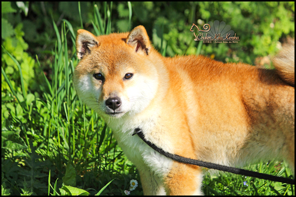 Yume-Chiyo-Go-Koshiwasou-shiba-inu-japan-import-japon-femelle-female-red-saillie-prevision-portee-chiot-nippo