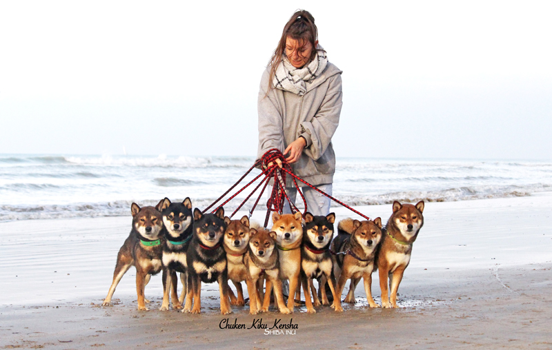 shiba-inu-chuken-kiku-kensha-elevage-CKK-plage-mer-chien-japonais