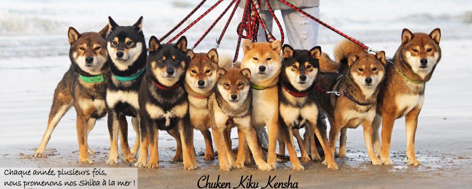 balade-promenade-shiba-inu-chuken-kiku-kensha-elevage-CKK-chien-japonais-meute-pack-groupe-plage-mer-dieppe-japan-dog