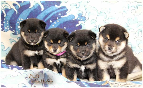 chiots-puppies-shiba-inu-chuken-kiku-kensha-elevage-CKK-black-tan-noir-kuroshiba-Jyujyu-Nanaki-nippo-litter-portee