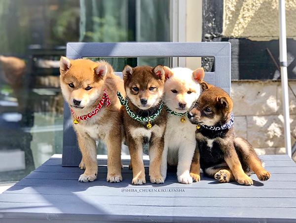 chiots-shiba-inu-elevage-CKK-chuken-kiku-kensha-puppy-japanese-dog-karakusa-collar