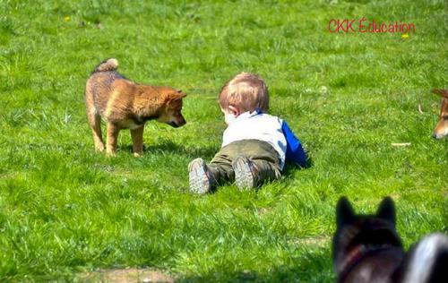 comment-bien-socialiser-son-chiot-shiba-inu-CKK-environnement-enfant-voiture-gens-endroit-bruyant-bebe-ecole-chiot-club-canin-pension-adopter-accueillir-un-deuxieme-chien