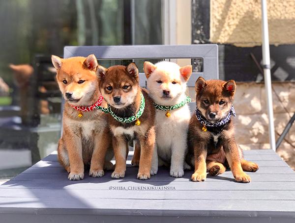 cute-puppies-shiba-inu-CKK-chuken-kiku-kensha-elevage-chien-japonais-chiot