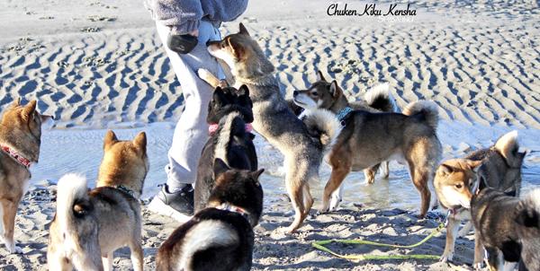 education-comportement-shiba-inu-conseil-chien-primitif-cours-on-peut-vous-aider-CKK