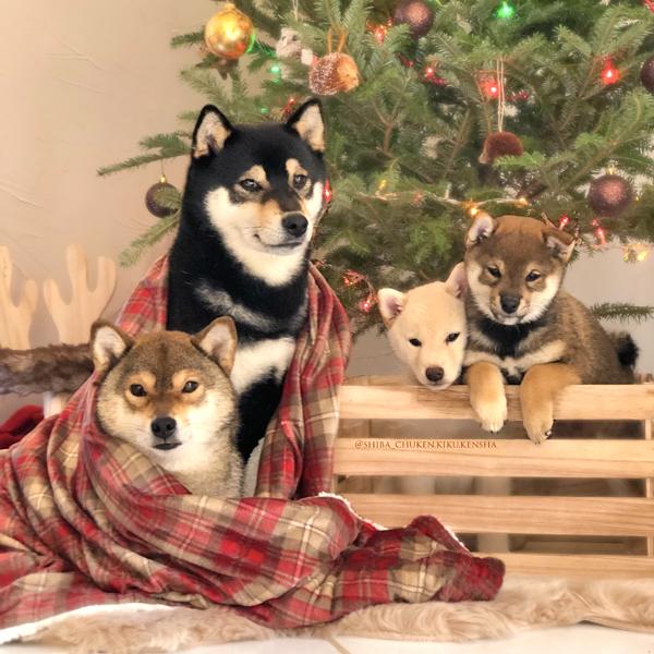 family-shiba-inu-CKK-chuken-kiku-kensha-sesame-goma-noir-black-puppy-puppies-chiots-famille-cute-chien-japonais-christmas-noel