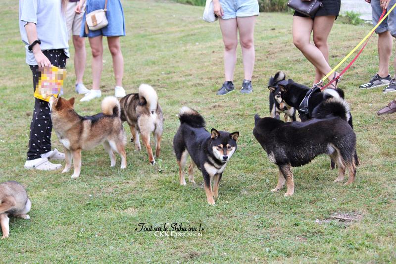 information-chien-japonais-Tout-sur-le-Shiba-inu-seminaire-conference-cours-collectif-atelier-canin-education-canine-CKK-elevage