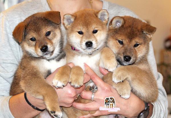 litter-kayo-jin-puppies-chiot-roux-fauve-sesame-goma-shiba-inu-CKK-elevage