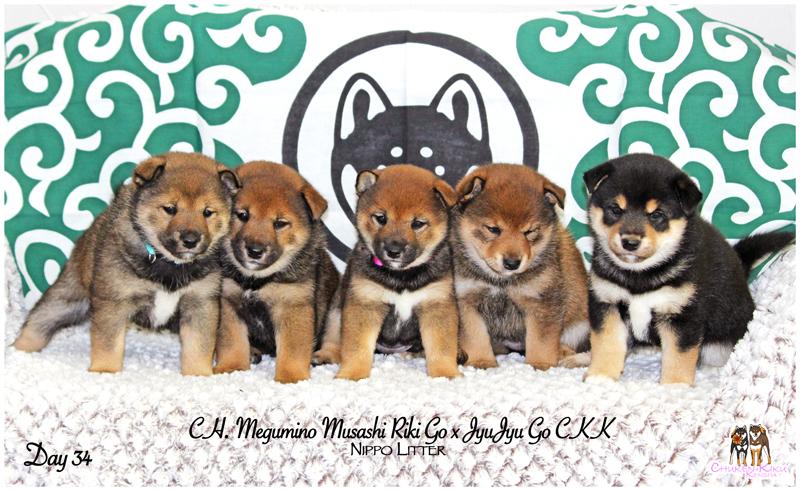 litter-puppies-chiots-shiba-inu-sesame-goma-elevage-CKK