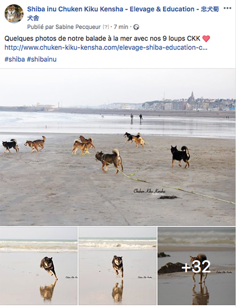 photo-shiba-inu-CKK-facebook-fb-chien-japonais