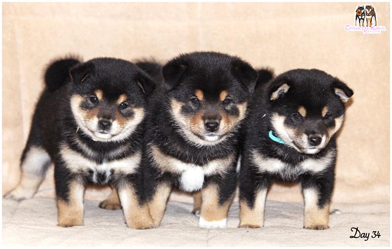 Puppies-puppy-chiot-elevage-shiba-inu-CKK-Mabuki-Musashi-nippo
