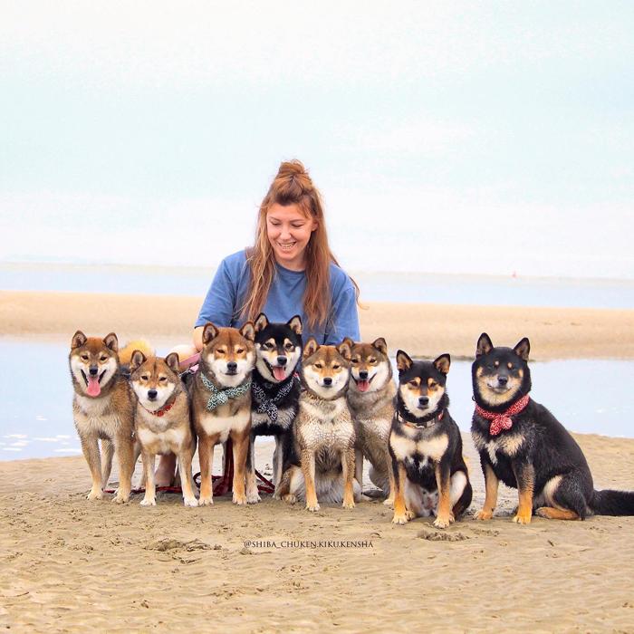 shiba-inu-chuken-kiku-kensha-elevage-CKK-beach-plage-mer-balade-meute-pack-japanese-dog-chien-japonais-shibe-sesame-goma-black-tan-kuroshiba