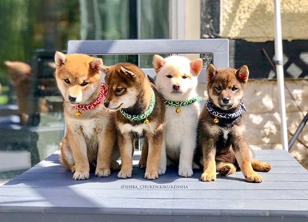 shiba-inu-elevage-chuken-kiku-kensha-CKK-chiot-puppies-normandie-eure