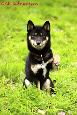 Shiba-inu-caractere-chat-chien-CKK-Education